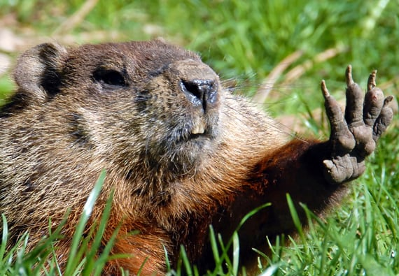 Best Groundhog Repellents & Deterrents