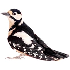 how to get rid of Hairy Woodpeckers