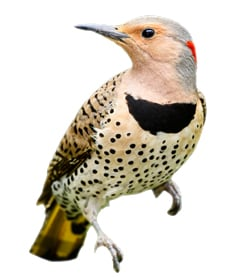 how to get rid of Northern Flickers