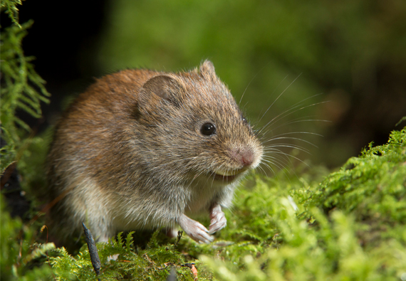 Best Vole Repellents