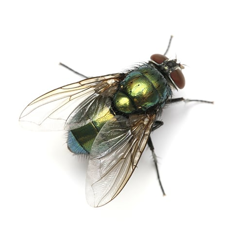 diyflies greenbottlefly - How To Get Rid Of Common Green Bottle Fly