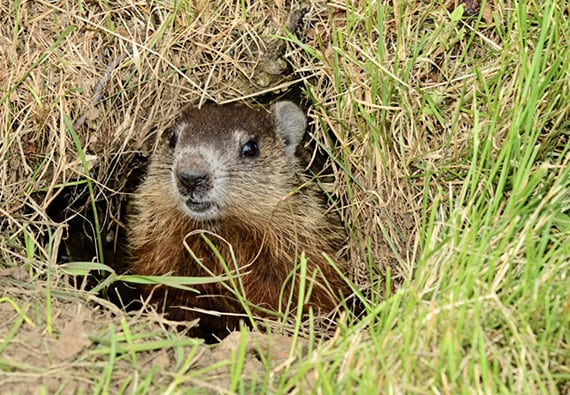 how to get rid of groundhogs updated for 2018