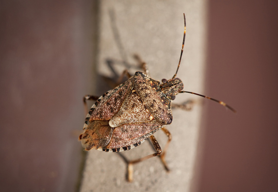 How to Get Rid of Stink Bugs | Updated for 2019