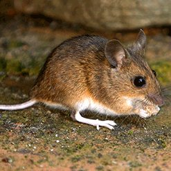 how to get rid of white-footed mice