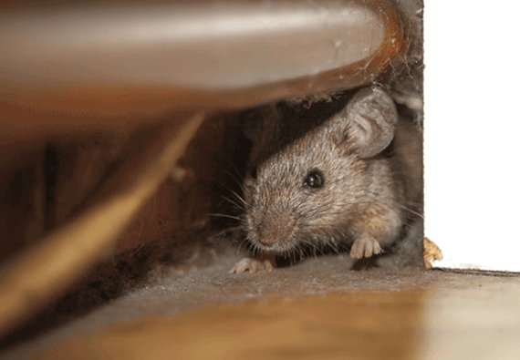 How to Get Rid of Rats Naturally – Peppermint Oil & Black Pepper