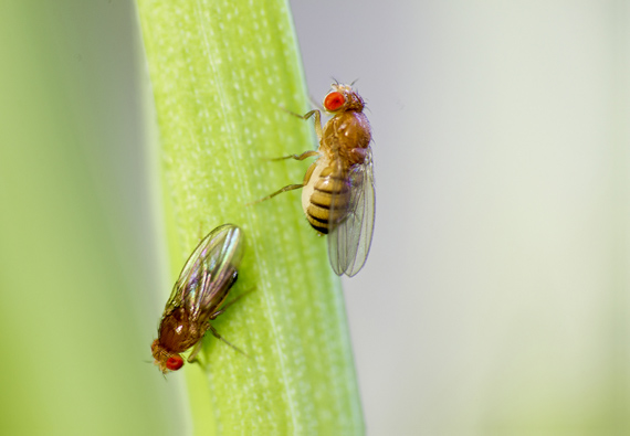 fruit flies on a leaf